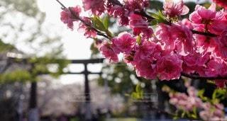 花,春,ピンク,景色,桜の花