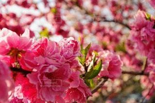 花,桜,景色,花びら,鮮やか