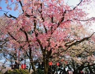 自然,花,春,鮮やか,樹木,景観,桜の花,さくら