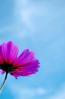 風景,花,コスモス,青空