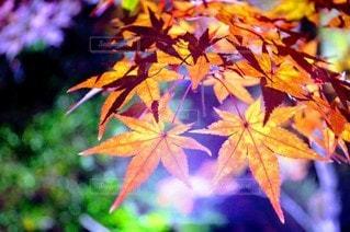 秋,夜,紅葉,ライトアップ