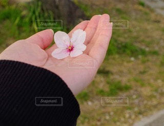 花,桜,屋外,手,人,草木