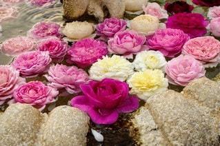 花,バラ,景色,花びら,たくさん