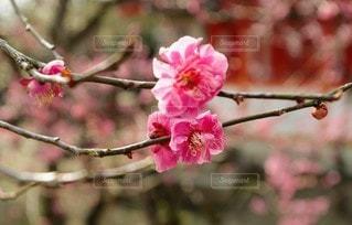 花,春,屋外,ピンク,梅,草木