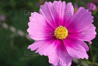 自然,風景,花,屋外,コスモス,花びら,鮮やか,草木,ガーデン