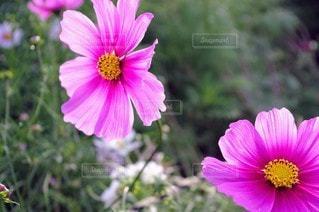 自然,風景,花,屋外,コスモス,花びら,鮮やか,草木,ガーデン,花粉,フローラ