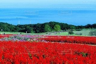 自然,風景,海,空,花,屋外,赤,山,景色,草,ポピー,淡路島,ガーデン