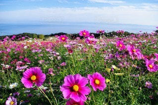 空,花,屋外,ピンク,コスモス,紫,景色,鮮やか,カラー,草木,ガーデン,かなり
