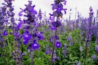 自然,風景,空,花,紫,景色,ラベンダー,淡路島,草木,ガーデン,デルフィ ニウム