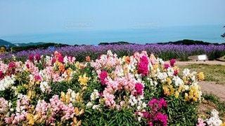 空,花,屋外,ピンク,紫,景色,淡路島,カラー,草木,ガーデン