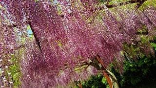 花,春,屋外,緑,フジ,樹木,草木