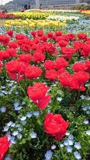 花,屋外,赤,チューリップ,淡路島,草木,ガーデン