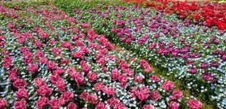 風景,花,屋外,景色,花びら,チューリップ,鮮やか,草,カラー,草木,ガーデン