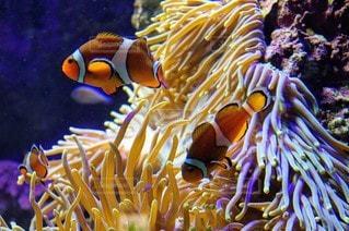 動物,魚,水族館,葉,鮮やか,水中,装飾,カクレクマノミ,金魚,カラー,イソギンチャク
