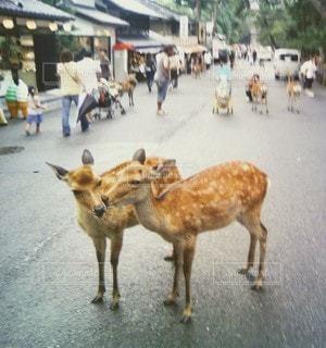 動物,屋外,歩く,道路,鹿,地面,日中