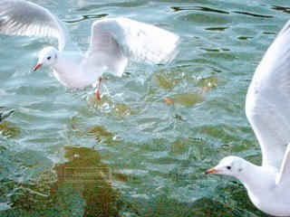 風景,公園,動物,鳥,屋外,水面,池,カモメ,水鳥