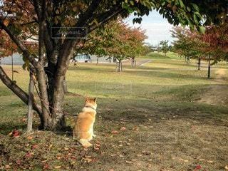 犬,風景,公園,動物,紅葉,屋外,草,樹木,地面