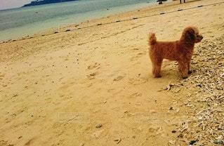 犬,動物,屋外,砂,ビーチ,砂浜,海岸,立つ,地面,トイプードル