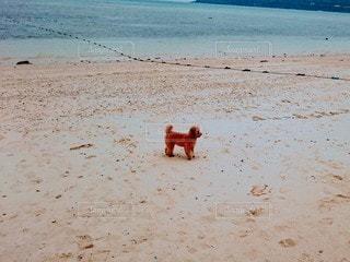 犬,自然,動物,屋外,砂,ビーチ,砂浜,水面,海岸,トイプードル