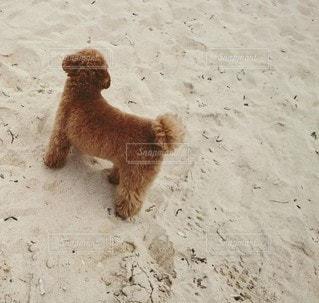 犬,動物,屋外,砂,ビーチ,砂浜,茶色,立つ,地面,トイプードル