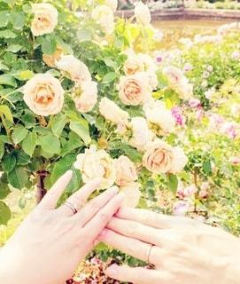 花,屋外,ピンク,花束,手,バラ,指輪,人,夫婦,たくさん,草木,ガーデン