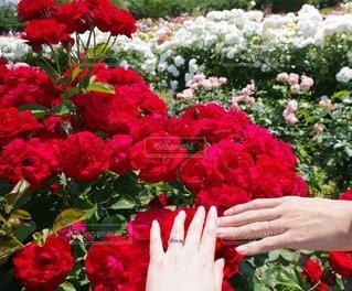 花,屋外,赤,手,バラ,指輪,花びら,夫婦,草木,ガーデン