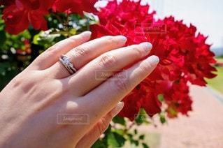 花,屋外,赤,手,バラ,指輪,景色,花びら,人,草木,ガーデン