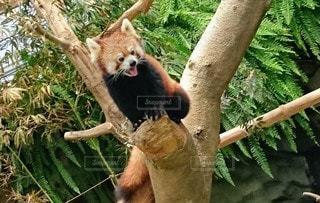 風景,猿,動物,木,屋外,樹木,動物園,レッサーパンダ,草木,クマ,レッサー パンダ