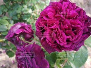 花のクローズアップの写真・画像素材[3229071]
