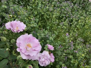 花,屋外,緑,紫,バラ,鮮やか,草木,フォトジェニックス