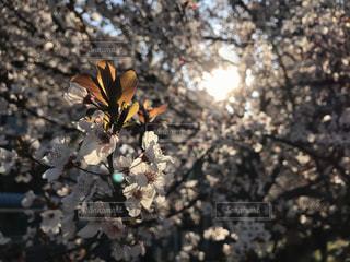 花,桜,屋外,鮮やか,光,樹木,草木