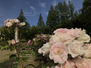 空,花,屋外,ピンク,白,バラ,樹木,草木