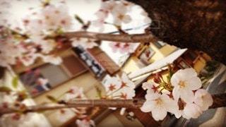 花,春,桜,京都,散歩