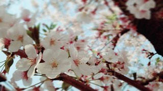 花,春,屋外,枝,葉,景色,樹木,草木,桜の花,さくら