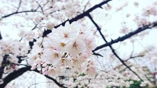 花,春,屋外,枝,葉,樹木,草木,桜の花,さくら