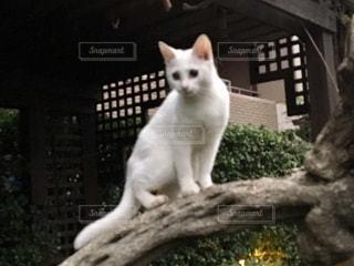 白猫の写真・画像素材[3207312]