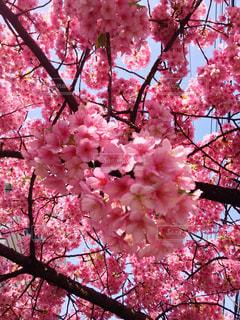桜色の写真・画像素材[3222705]