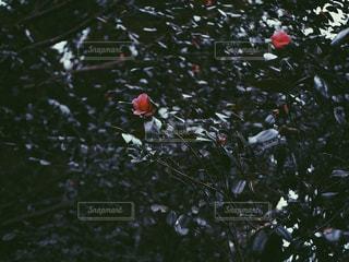 自然,花,屋外,緑,暗い,景色,花びら,椿,樹木,草木,深緑