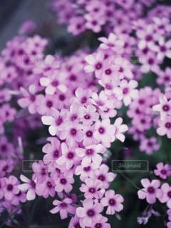 自然,花,春,ピンク,紫,景色,鮮やか,草木,ブルーム,バーベナ,クローズ アップ,フローラ
