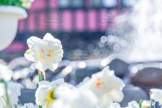 花,景色,噴水,スイセン