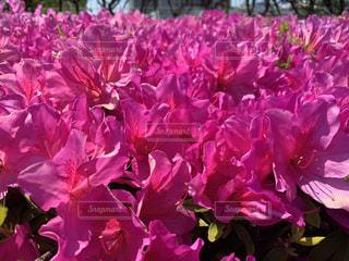 花,ピンク,鮮やか,ツツジ,カラー,草木,フローラ