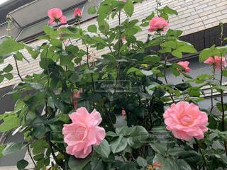 花,ピンク,バラ,草木