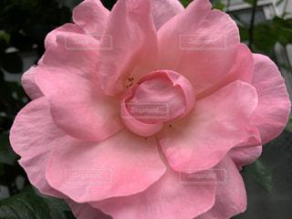 花,春,ピンク,バラ,花びら,草木,ブルーム,フローラ