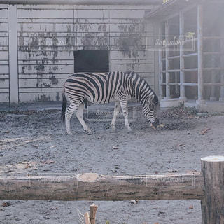 動物,可愛い,動物園,日中,しましま,シマウマ