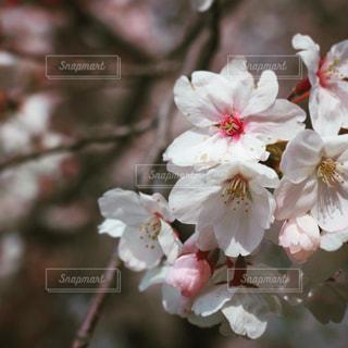 花,春,桜,ピンク,お花見,草木,さくら