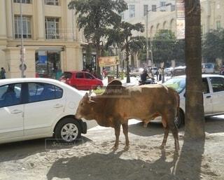 インド ムンバイの高級住宅地を牛が散歩の写真・画像素材[4460452]