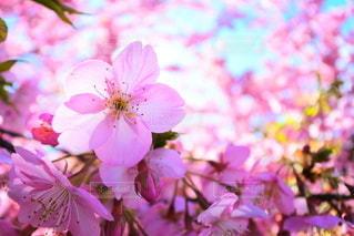 花,桜,ピンク,河津桜,雨上がりの空
