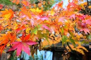 秋,紅葉,オレンジ,4色