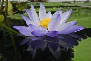 花,睡蓮,紫色