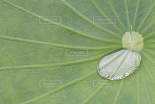 緑,水,蓮の葉,あまつゆの葉